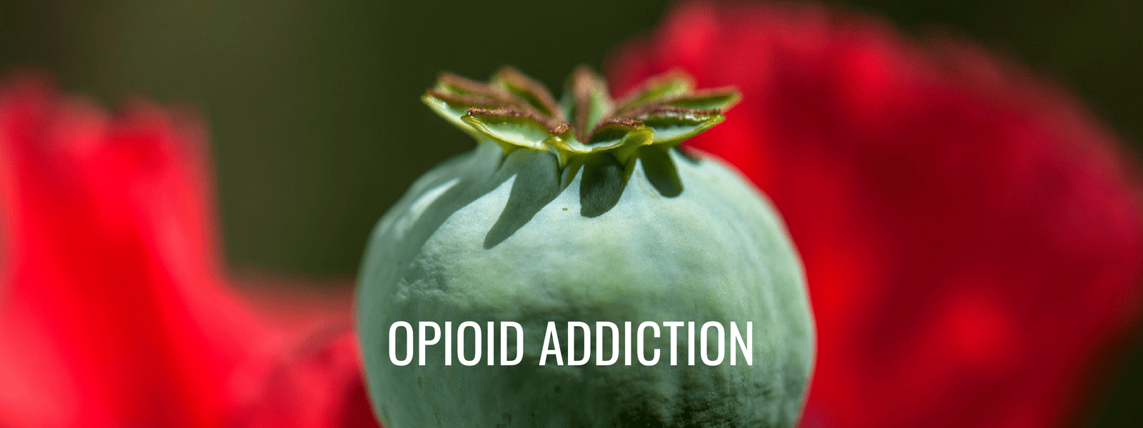 Seattle opiate addiction treatment center - schick shadel hospital - opioidaddiction - poppy plant - opium